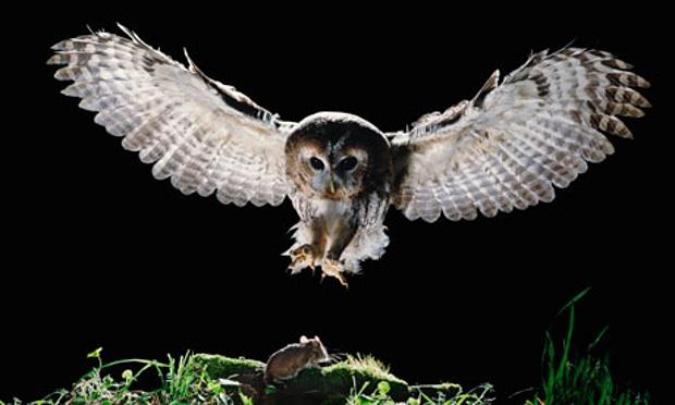 Tawny-owl-006